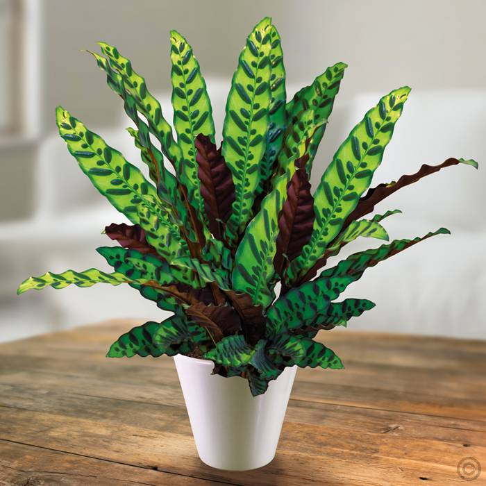 Calathea lancifolia – skellinöðrufjöður